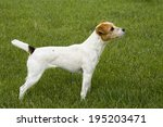 jack russell terrier dog side... | Shutterstock . vector #195203471