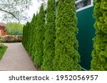 Row Of Tall Evergreen Thuja...