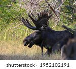 Bull Moose Just Sitting In The...