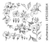 Hibiscus Engraved Illustrations ...