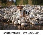 small jack russell terrier... | Shutterstock . vector #1952202604