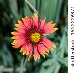 Indian Blanket  Firewheel ...