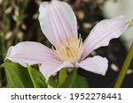 Clematis Blooming Vibrant...