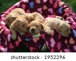 adorable golden retriever puppies - stock photo