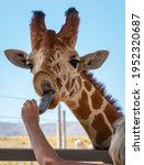 A Giraffe's Head And Neck With...