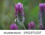 Purple Clover   Trifolium...