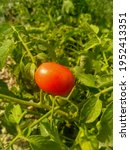 A Single Ripe Tomato On A Vine...