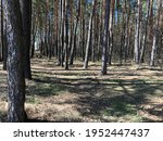 macro photo pine forest. stock... | Shutterstock . vector #1952447437