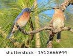 Eastern Bluebirds  Sialia...