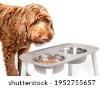 Labradoodle Dog Eating From A...