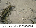 Close Up Of Seaweed On A Sandy...