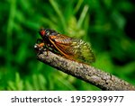 Small photo of A 17-year cicada. They live underground in their nymph stage and emerge only after 17 years. They are pretty with their transparent wings, orange highlights and their very large, orange compound eyes.