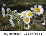 Bouquet Of Daisies. Daisy Of...