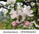 Macro Shot Of A Honey Bee...