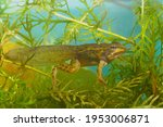Small photo of Metamorphosing green frog tadpole of Rana esculenta under water with fully developed hint and front legs taken from the side with the frog towards the camera and large webbed feet with long toes