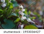 Aoi Violet  Violet Blooming In...