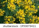 Yellow Flowers Ulex Europaeus ...