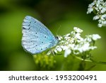 A holly blue butterfly...