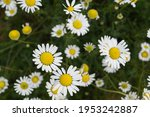 Flowering Daisies. Oxeye Daisy  ...