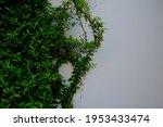 Verdant Creeper Growing On The...