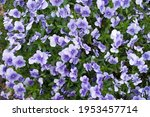 These Are The Pansies That...