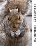 Squirrel Up Close Eating Peanuts