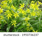 Small Flowers Of Gagea Lutea Or ...