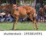 Female Lowland Nyala Deer...