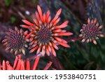 Three Aloe Vera Flowers  Cactus ...