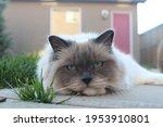 Cute Grey Ragdoll Cat Relaxing