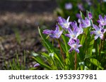 Purple Spring Flowers With...
