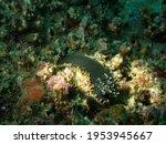 Black Sea Slug  Sea Snails ...