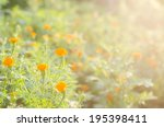 marigolds or tagetes erecta... | Shutterstock . vector #195398411