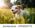 Cute Parson Russell Terrier...