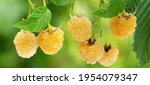 Ripe Yellow Raspberries In A...