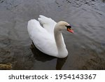 Portrait Of White Swan With...