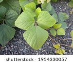 Kudzu plants in tropical nature ...