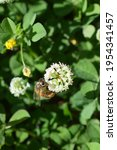 Common Bee  Apis Mellifera  On...