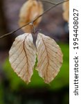 Pair Of Dry Beige Leaves Of A...