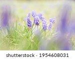 Grape Hyacinth Muscari Flowers. ...