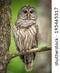 Stock photo barred owl perched on a tree branch 195465317