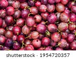Small photo of Berries of red juicy gooseberry close-up. Fresh gooseberries as a background. Gooseberry harvest.