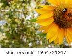 A Sunflower Bee Walks Around...