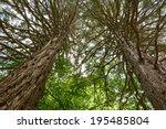 Sequoia Sempervirens  Coast...