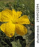 Close Up Of Sponge Gourd Flower ...
