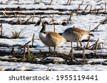 Canadian Geese On A Field In...
