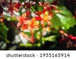 Clerodendrum Paniculatum  The...