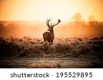 red deer in morning sun. | Shutterstock . vector #195529895