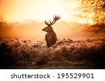 red deer in morning sun. | Shutterstock . vector #195529901
