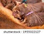 Newborn Brown Puppy Drinks Mom...